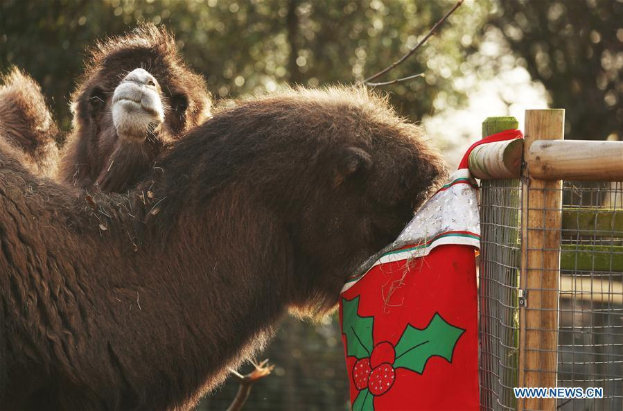 Bactrian camels enjoy their breakfast served in a super-sized stocking during an \'Animal Adventures this Christmas\' photocall at Zoological Society of London (ZSL) London Zoo, in London, Britain, on Dec. 20, 2018. Zookeepers of the ZSL London Zoo prepared some seasonal surprises for the Zoo\'s residents to enjoy on Thursday. (Xinhua/Isabel Infantes)
