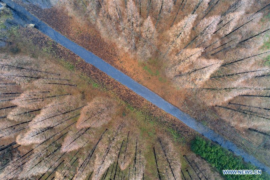 Aerial photo taken on Dec. 22, 2018 shows the scenery of the metasequoia forest in Sihong County of Suqian City, east China\'s Jiangsu Province. (Xinhua/He Jinghua)