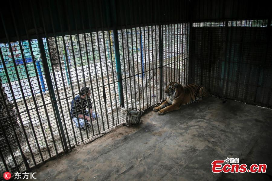 A tiger named Laziz, rescued by Four Paws international animal welfare group from a zoo in Khan Younis in the southern Gaza Strip, is now at Four Paws\' Lionsrock Big Cat Sanctuary in South Africa. \
