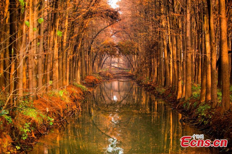 Drone photos show the colorful foliage at Lizhong Water Forest in Taizhou City, East China\'s Jiangsu Province, Dec. 23, 2018. The large artificial forest boasts unique landscape and is home to many bird species. (Photo: China News Service)