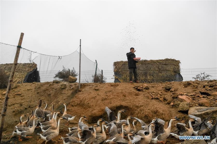 Wang Sanyi feeds injured gray geese in Anqing, east China\'s Anhui Province, Dec. 22, 2018. Wang Sanyi, 69, founded the Caizi Lake wetland ecological protection association with more than 300 members in 2010. Some villagers who used to be hunters now join the association, becoming volunteers to protect migrant birds. With the help of the association, the ecological environment of Caizi Lake wetland has been improved in recent years. Thanks to the efforts of protection, more and more migrant birds are seen here overwintering. \