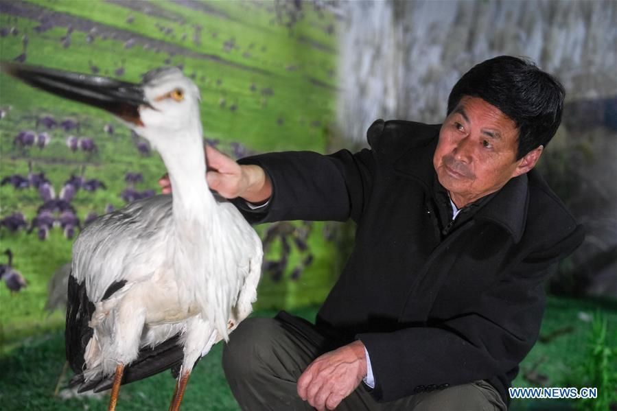 Wang Sanyi is seen at an educational center near Caizi Lake wetland, Anqing, in east China\'s Anhui Province, Dec. 22, 2018. Wang Sanyi funded the educational center with his own money. Wang Sanyi, 69, founded the Caizi Lake wetland ecological protection association with more than 300 members in 2010. Some villagers who used to be hunters now join the association, becoming volunteers to protect migrant birds. With the help of the association, the ecological environment of Caizi Lake wetland has been improved in recent years. Thanks to the efforts of protection, more and more migrant birds are seen here overwintering. \