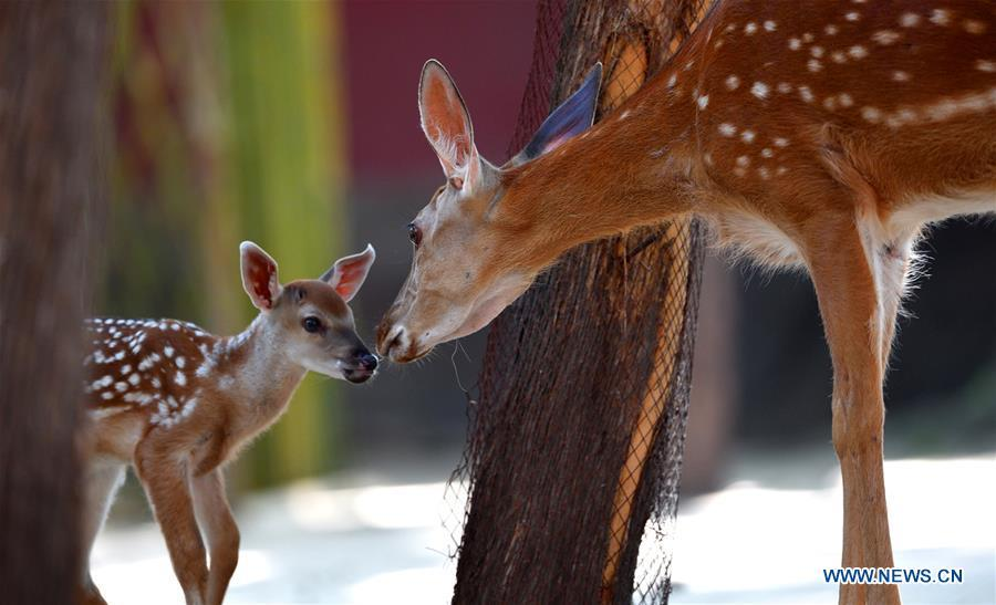 Sika deer are seen at a garden of the Hall of Benevolent Peace in the Palace Museum in Beijing, capital of China, June 4, 2018. Nine sika deer from the Imperial Summer Resort in north China\'s Chengde have been selected for demonstration in the Hall of Benevolent Peace in the Palace Museum since 2017. (Xinhua/The Palace Museum)