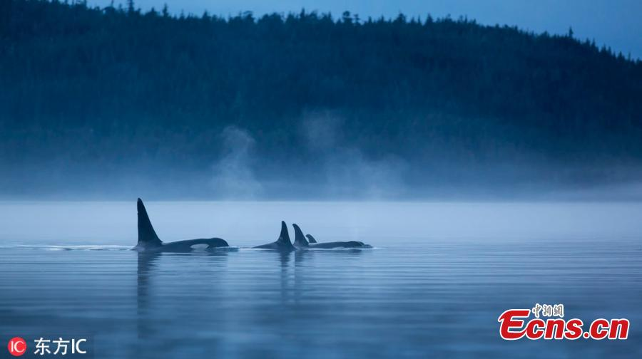 Kayakers were stunned to have an incredibly close encounter with two killer whales while out on the water. Photography guide Steven Rose, 62, filmed the amazing scenes in the Johnstone Strait, south of Telegraph Cove in Vancouver Island, British Colombia, earlier this year. Steven, 62, from Toronto, was kayaking with his daughter when the majestic orcas - which were hunting salmon - swam under their vessels. (Photo/IC)