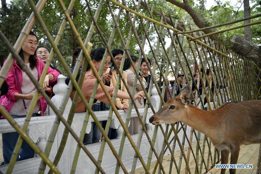Visitors look at sika deer at a garden of the Hall of Benevolent Peace in the Palace Museum in Beijing, capital of China, Sept. 26, 2017. Nine sika deer from the Imperial Summer Resort in north China\'s Chengde have been selected for demonstration in the Hall of Benevolent Peace in the Palace Museum since 2017. (Xinhua/Jin Liangkuai)