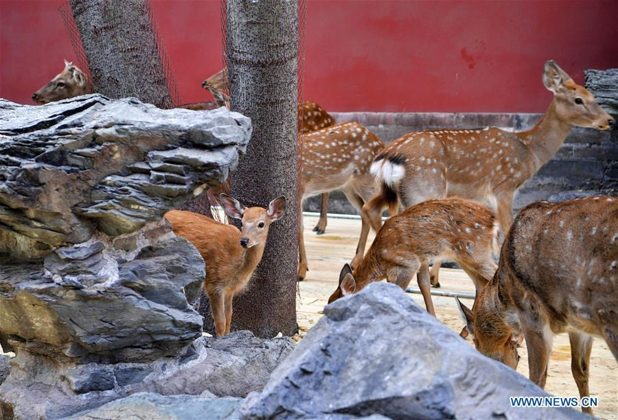 Sika deer are seen at a garden of the Hall of Benevolent Peace in the Palace Museum in Beijing, capital of China, Sept. 26, 2017. Nine sika deer from the Imperial Summer Resort in north China\'s Chengde have been selected for demonstration in the Hall of Benevolent Peace in the Palace Museum since 2017. (Xinhua/Jin Liangkuai)