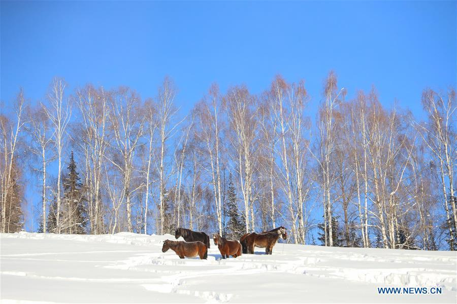 Horses stand in the snow at the Hom scenic area of Kanas in northwest China\'s Xinjiang Uygur Autonomous Region on Dec. 23, 2018. (Xinhua/Sadat)