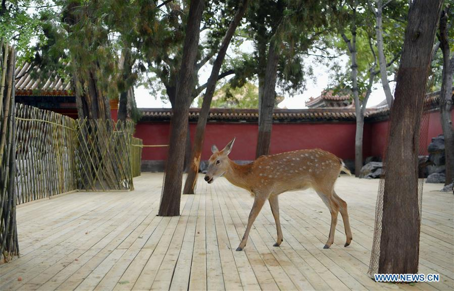 Sika deer is seen at a garden of the Hall of Benevolent Peace in the Palace Museum in Beijing, capital of China, Sept. 26, 2017. Nine sika deer from the Imperial Summer Resort in north China\'s Chengde have been selected for demonstration in the Hall of Benevolent Peace in the Palace Museum since 2017. (Xinhua/Jin Liangkuai)