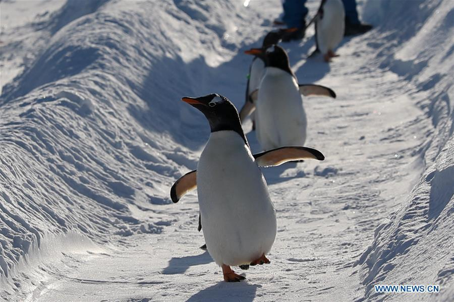 Penguins of Harbin Polarland play outside in Harbin, northeast China\'s Heilongjiang Province, Dec. 24, 2018. (Xinhua/Cao Jiyang)