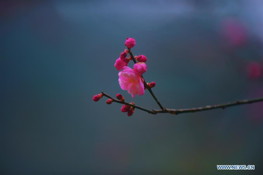 <?php echo strip_tags(addslashes(Photo taken on Dec. 24, 2018 shows plum blossoms in Xuan'en County of Enshi Tujia and Miao Autonomous Prefecture, central China's Hubei Province. (Xinhua/Wang Jun))) ?>