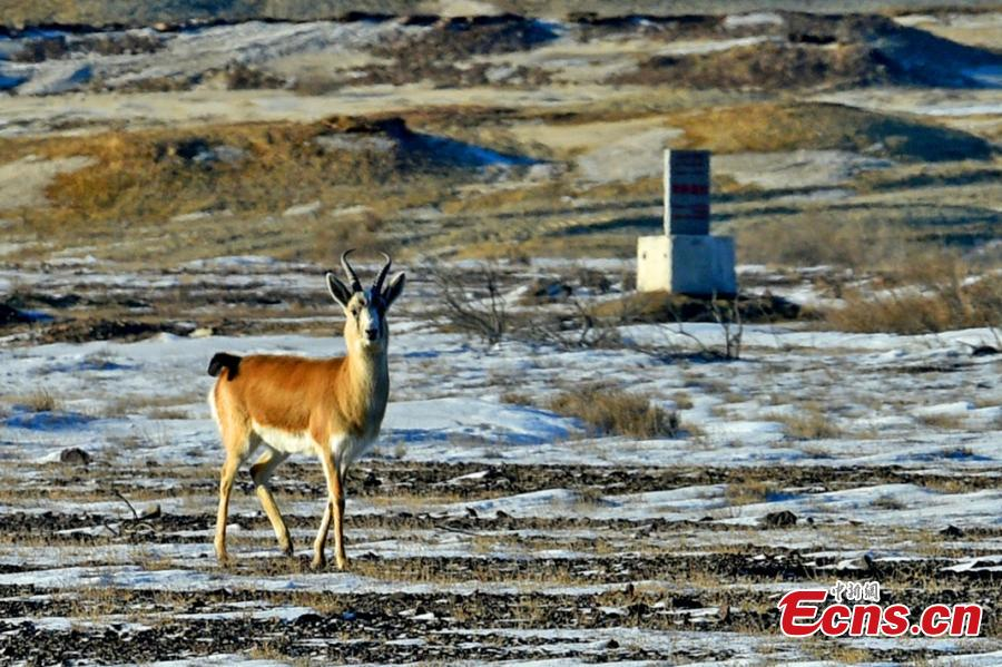 A Goitered or black-tailed gazelle roams in the Kalamaili Nature Reserve in Northwest China's Xinjiang Uygur Autonomous Region. Local oil companies spent approximately 200 million yuan ($29 million) from 2017 to permanently plug oil and water wells and restore an area of 352,000 square meters amid efforts to protect wild animals in the reserve, which was established in April 1982. (Photo: China News Service/Min Yong)