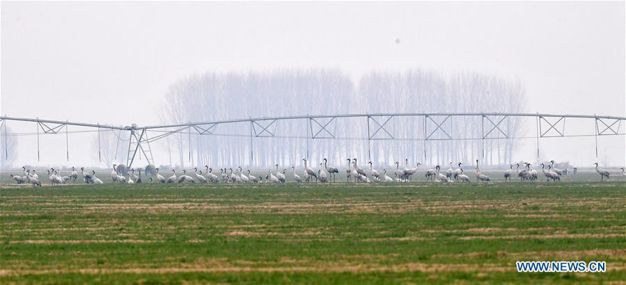 A group of cranes stand in Yellow River Wetland in Changyuan County, central China\'s Henan Province, Dec. 25, 2018. (Xinhua/Feng Dapeng)