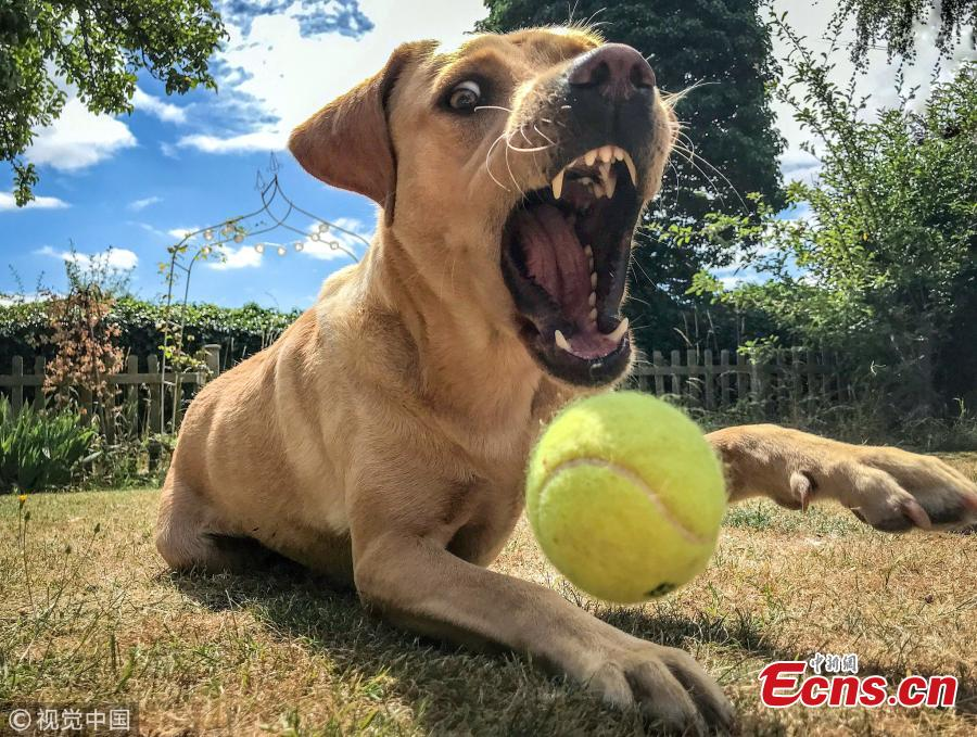 A more dynamic photo of a dog was captured by Kizzy Porter for the 16-18 years category which showed a canine\'s attempt to catch a ball. (Photo/VCG)