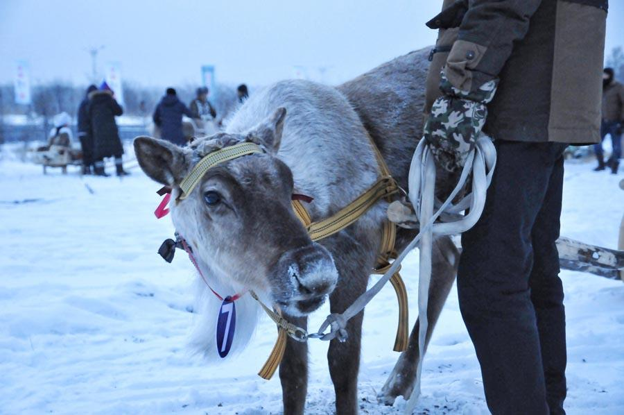 The Aoluguya, a tribe of the Ewenki ethnic group in Genhe city in North China\'s Inner Mongolia autonomous region, is the only tribe that still breeds reindeer in China. (Photo/China Daily)