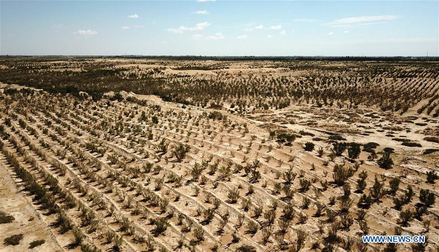 Photo taken on Aug. 25, 2018 shows plants growing in a desertification combating demonstration zone in Minqin County, northwest China\'s Gansu Province. China has seen reduced desertification and increased forest coverage since 1978, thanks to the Three-North Afforestation Program (TNAP), said a report released on Dec. 24, 2018. Constructed in the northeast, north and northwest China, TNAP is a national program fighting against soil erosion and wind-sand damage by planting sand-fixing forests. The area of sand-fixing forests has increased by 154 percent in the past 40 years, contributing to the reduction of desertification by around 15 percent, according to a report jointly released by the National Forestry and Grassland Administration (NFGA) and the Chinese Academy of Sciences. Over the past 40 years, TNAP increased the forest area by 30.14 million hectares and raised the forest coverage rate from 5.05 percent to 13.57 percent in the regions it covers, said Liu Dongsheng, deputy head of the NFGA. (Xinhua/Chen Bin)