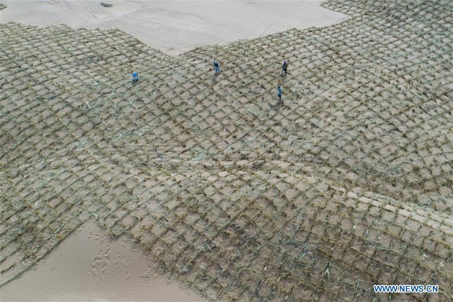 Workers make straw checkerboard sand barriers in the Tengger Desert in the Shapotou District of Zhongwei City, northwest China\'s Ningxia Hui Autonomous Region, June 11, 2018. Shapotou, whose name was derived from high sand dunes, is located on the southern edge of the Tengger Desert. For half a century, Shaputou is renowned for curbing desertification by mainly making straw checkerboard sand barriers in large scale. China has seen reduced desertification and increased forest coverage since 1978, thanks to the Three-North Afforestation Program (TNAP), said a report released on Dec. 24, 2018. Constructed in the northeast, north and northwest China, TNAP is a national program fighting against soil erosion and wind-sand damage by planting sand-fixing forests. The area of sand-fixing forests has increased by 154 percent in the past 40 years, contributing to the reduction of desertification by around 15 percent, according to a report jointly released by the National Forestry and Grassland Administration (NFGA) and the Chinese Academy of Sciences. Over the past 40 years, TNAP increased the forest area by 30.14 million hectares and raised the forest coverage rate from 5.05 percent to 13.57 percent in the regions it covers, said Liu Dongsheng, deputy head of the NFGA. (Xinhua/Lu Ying)