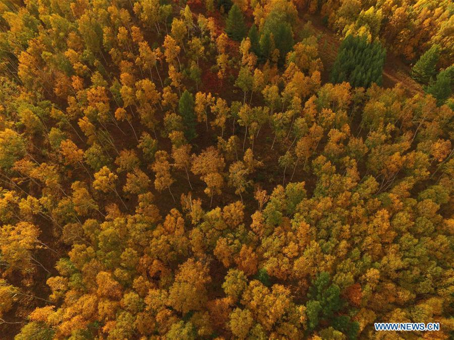 Aerial photo taken on Sept. 22, 2017 shows the autumn scenery of the Saihanba State Forest Park in Chengde City, north China\'s Hebei Province. Saihanba is a vast forest covering nearly 75,000 hectares. It was a piece of barren land 55 years ago, but decades of hard afforestation efforts turned it into an important ecological shield for Beijing and Tianjin. China has seen reduced desertification and increased forest coverage since 1978, thanks to the Three-North Afforestation Program (TNAP), said a report released on Dec. 24, 2018. Constructed in the northeast, north and northwest China, TNAP is a national program fighting against soil erosion and wind-sand damage by planting sand-fixing forests. The area of sand-fixing forests has increased by 154 percent in the past 40 years, contributing to the reduction of desertification by around 15 percent, according to a report jointly released by the National Forestry and Grassland Administration (NFGA) and the Chinese Academy of Sciences. Over the past 40 years, TNAP increased the forest area by 30.14 million hectares and raised the forest coverage rate from 5.05 percent to 13.57 percent in the regions it covers, said Liu Dongsheng, deputy head of the NFGA. (Xinhua/Liu Huanyu)