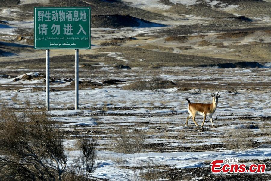 A Goitered or black-tailed gazelle roams in the Kalamaili Nature Reserve in Northwest China's Xinjiang Uygur Autonomous Region. Local oil companies spent approximately 200 million yuan ($29 million) from 2017 to permanently plug oil and water wells and restore an area of 352,000 square meters amid efforts to protect wild animals in the reserve, which was established in April 1982. (Photo: China News Service/Yang Mei)