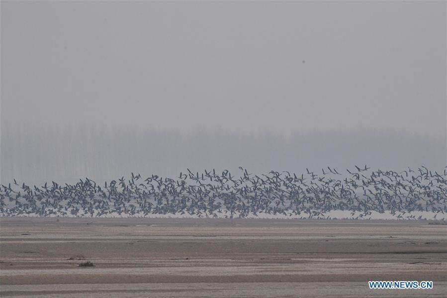 A group of wild geese fly over Yellow River Wetland in Changyuan County, central China\'s Henan Province, Dec. 25, 2018. (Xinhua/Feng Dapeng)