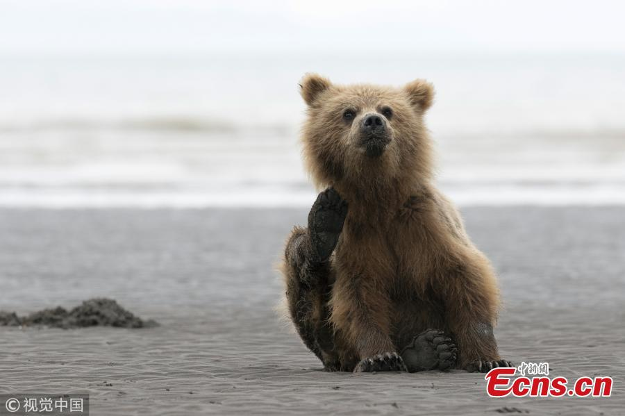 A young brown bear frantically scratching itself to get rid of an itch on a deserted beach, by 15-year-old amateur photographer Will Jenkins. (Photo/VCG)