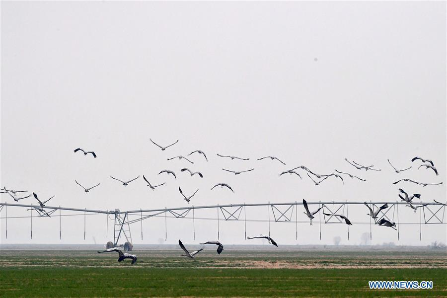 A group of cranes fly over Yellow River Wetland in Changyuan County, central China\'s Henan Province, Dec. 25, 2018. (Xinhua/Feng Dapeng)
