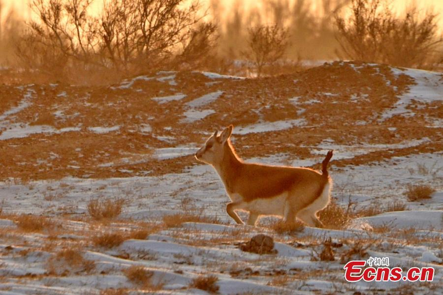 A Goitered or black-tailed gazelle roams in the Kalamaili Nature Reserve in Northwest China's Xinjiang Uygur Autonomous Region. Local oil companies spent approximately 200 million yuan ($29 million) from 2017 to permanently plug oil and water wells and restore an area of 352,000 square meters amid efforts to protect wild animals in the reserve, which was established in April 1982. (Photo: China News Service/Xu Huifei)
