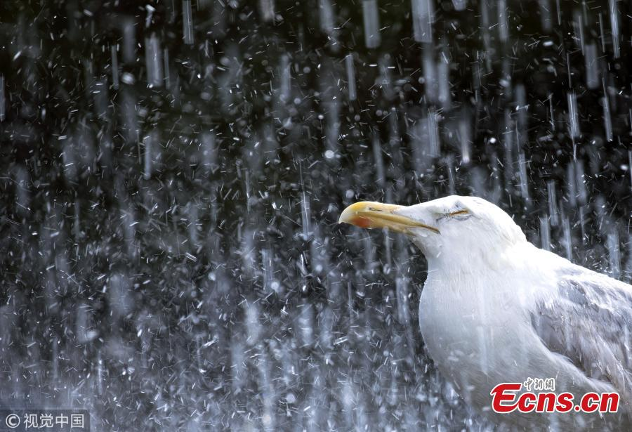 Photo taken by Gideon Knight shows a common seagull shuts its eyes tight and winds in its neck as it is pelted with rain in a torrential downpour earlier this year. (Photo/VCG)