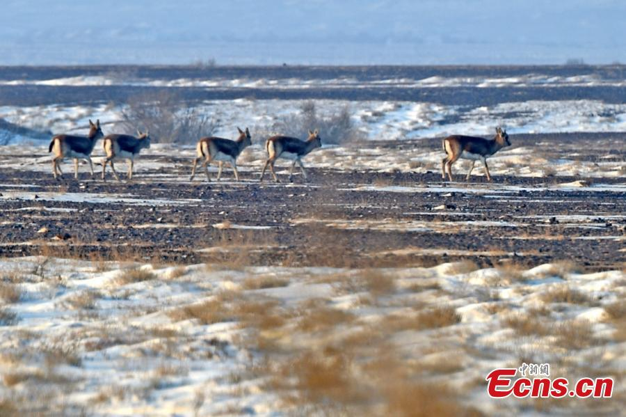 Goitered or black-tailed gazelles roam in the Kalamaili Nature Reserve in Northwest China's Xinjiang Uygur Autonomous Region. Local oil companies spent approximately 200 million yuan ($29 million) from 2017 to permanently plug oil and water wells and restore an area of 352,000 square meters amid efforts to protect wild animals in the reserve, which was established in April 1982. (Photo: China News Service/Xu Huifei)