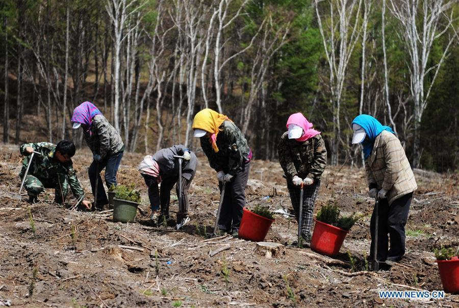 Staff members plant trees at the Saihanba forest in Weichang Man and Mongolian Autonomous County of Chengde City, north China\'s Hebei Province, May 13, 2014. Saihanba is a vast forest covering nearly 75,000 hectares. It was a piece of barren land 55 years ago, but decades of hard afforestation efforts turned it into an important ecological shield for Beijing and Tianjin. China has seen reduced desertification and increased forest coverage since 1978, thanks to the Three-North Afforestation Program (TNAP), said a report released on Dec. 24, 2018. Constructed in the northeast, north and northwest China, TNAP is a national program fighting against soil erosion and wind-sand damage by planting sand-fixing forests. The area of sand-fixing forests has increased by 154 percent in the past 40 years, contributing to the reduction of desertification by around 15 percent, according to a report jointly released by the National Forestry and Grassland Administration (NFGA) and the Chinese Academy of Sciences. Over the past 40 years, TNAP increased the forest area by 30.14 million hectares and raised the forest coverage rate from 5.05 percent to 13.57 percent in the regions it covers, said Liu Dongsheng, deputy head of the NFGA. (Xinhua/Wang Xiao)