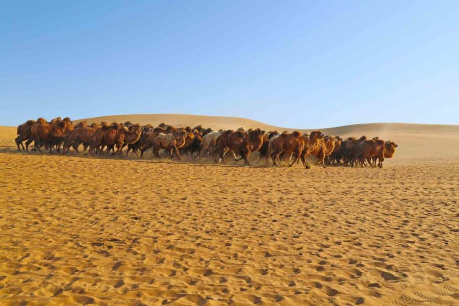 Thousands of camels are seen Wednesday in Alxa League of North China\'s Inner Mongolia autonomous region for the second Alxa Camel Culture Tourism Festival. (Photo by Cheng Lin/ for chinadaily.com.cn)