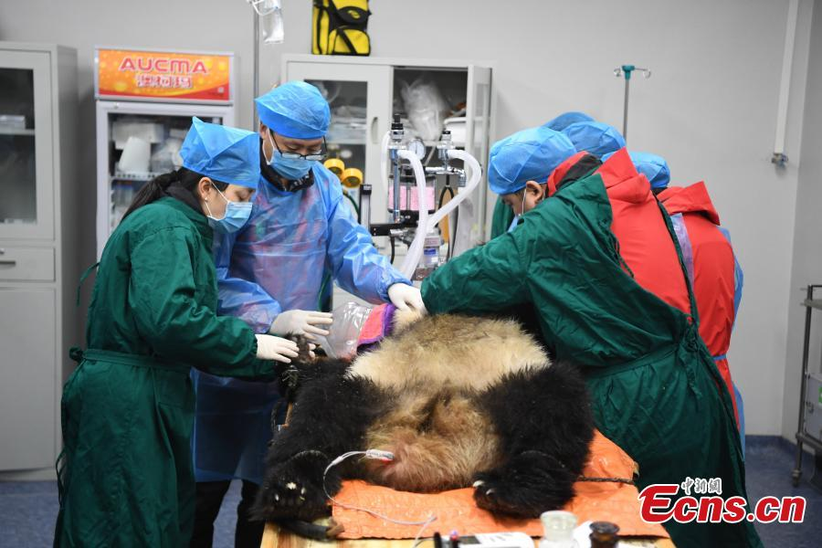 Giant panda Xiaohetao has a health check at the Shenshuping base of the China Conservation and Research Center for the Giant Panda in Sichuan Province, Dec. 26, 2018 before its release into the wild. Medical work on the two young pandas included blood tests and check for parasites as well as X-rays. Qinxin was found to weigh 64 kilograms and 117 centimeters tall while Xiaohetao tipped the scales at 62 kilograms and measured 99 centimeters in height. Both are in good health, according to researchers, and will wear GPS collars to track their movements and collect data. The two panda cubs underwent training for reintroduction into the wild.  (Photo: China News Service/Li Chuanyou)