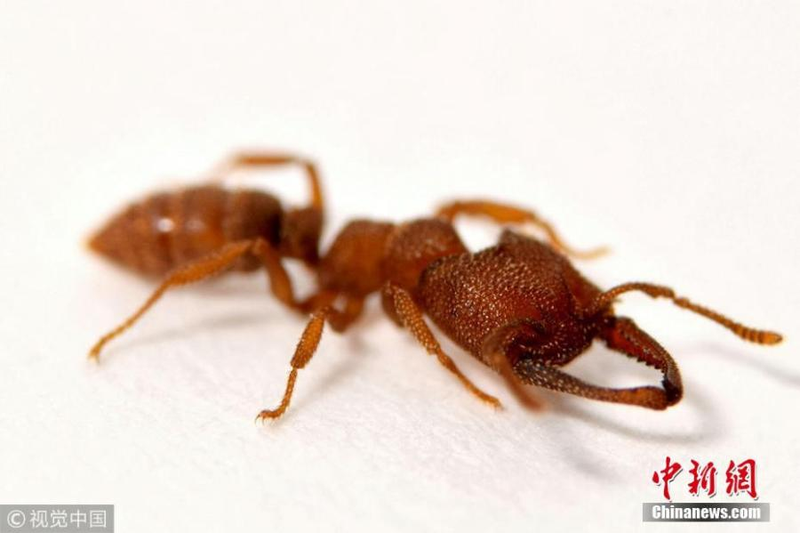 Dracula ants, found in Africa, Australia and south east Asia, use their jaws like a catapult, pushing them together to build up tension before they fly apart. Dracula ants snap their jaws shut at an incredible 200mph - 5,000 times faster than the blink of an eye, according to researchers of the University of Illinois, who used high speed footage to confirm the finding. (Photo/VCG)