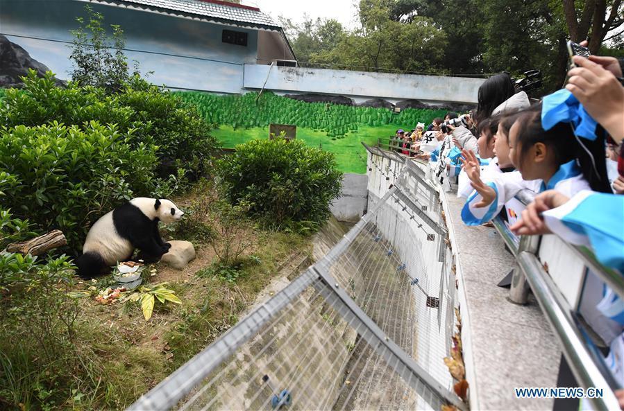 Giant Panda \
