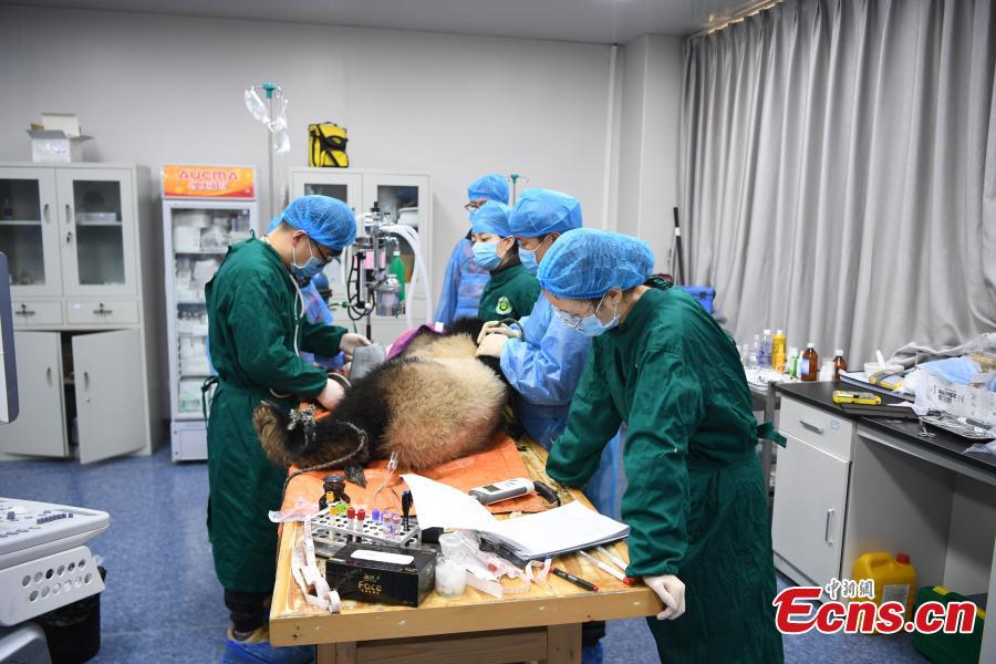 Giant panda Qinxin has a health check at the Shenshuping base of the China Conservation and Research Center for the Giant Panda in Sichuan Province, Dec. 26, 2018 before its release into the wild. Medical work on the two young pandas included blood tests and check for parasites as well as X-rays. Qinxin was found to weigh 64 kilograms and 117 centimeters tall while Xiaohetao tipped the scales at 62 kilograms and measured 99 centimeters in height. Both are in good health, according to researchers, and will wear GPS collars to track their movements and collect data. The two panda cubs underwent training for reintroduction into the wild.  (Photo: China News Service/Li Chuanyou)