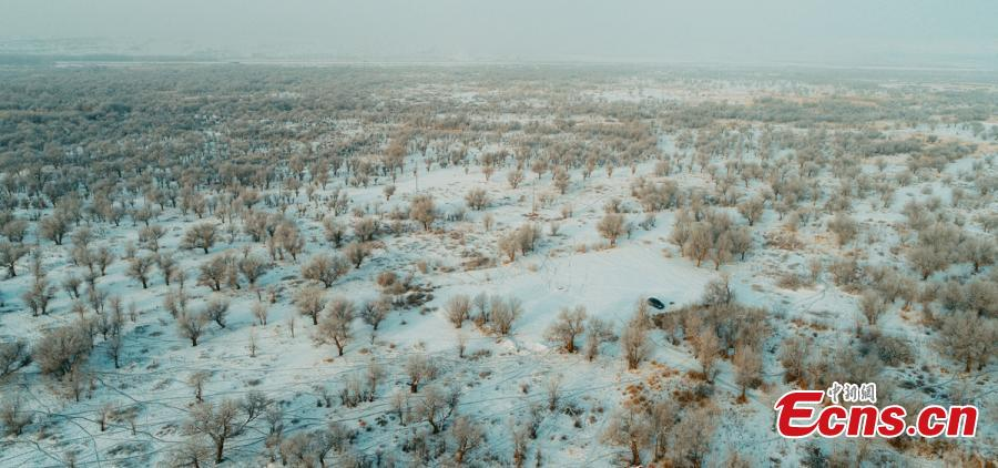 A view of a forest of desert poplar or populus euphratica covered in snow in Orku District, Karamay City, Northwest China\'s Xinjiang Uyghur Autonomous Region. The district has made great efforts to develop tourism in recent years on the base of its 2,000 hectares, a popular tourist attraction. (Photo: China News Service/Ai Ke)