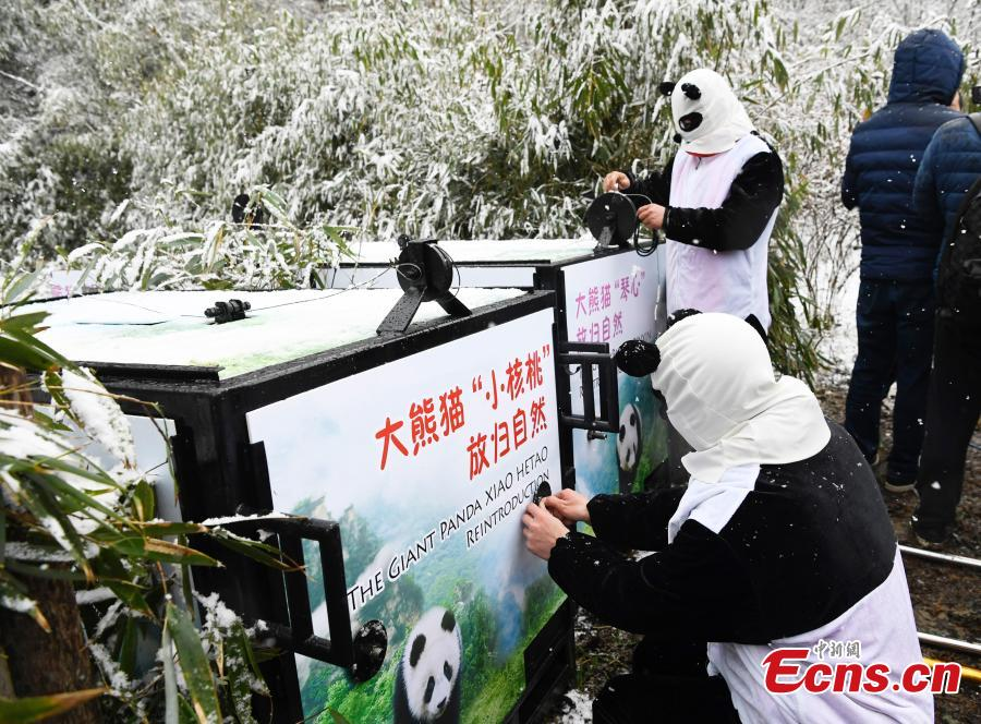 One of two female giant pandas is released on Thursday into a national nature reserve in Dujiangyan, Sichuan Province, by the China Conservation and Research Center for the Giant Panda.  (Photo: China News Service/An Yuan)