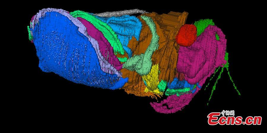 Virtual reconstructions of the new 430 million-year-old crustacean Spiricopia aurita, which is 7.5 mm long. A new animal species related to crabs and shrimp, preserved in 430-million-year-old rocks in Herefordshire, England, presents a rare look at the respiratory organs of a tiny crustacean. A team of scientists from Yale, the University of Leicester, Oxford, and Imperial College London announced the discovery Nov. 7 in a study in the Royal Society journal Biology Letters. The new species is named Spiricopia aurita, from the Latin words for \