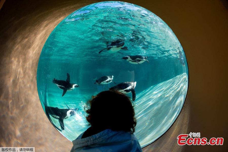 A child looks at African penguins during the opening of a new area reserved for them at bioparco in Rome, Dec. 27, 2018. (Photo/Agencies)