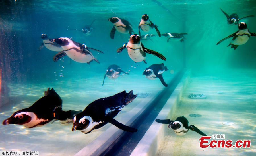 African penguins are seen on the opening day of a new area reserved for them at bioparco in Rome, Dec. 27, 2018. (Photo/Agencies)