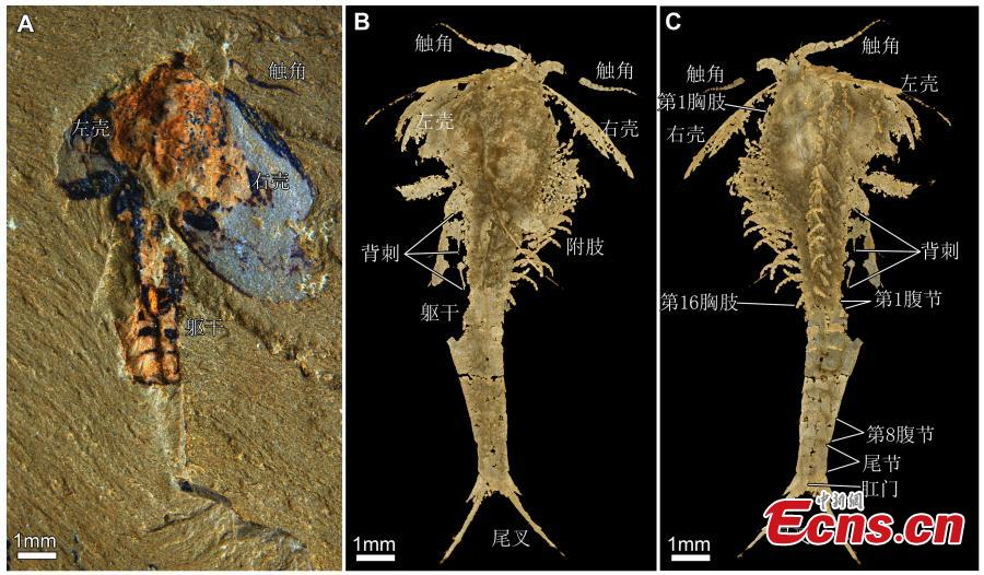Researchers from Yunnan University including Zhai Dayou, Liu Yu and Hou Xianguang have worked with other scholars from the University of Cambridge and Massachusetts Institute of Technology to publish a paper entitled Three-Dimensionally Preserved Appendages in an Early Cambrian Stem-Group Pancrustacean on Current Biology, a scientific journal that covers all areas of biology. The team used X-ray computed tomography to reveal the pyritized appendages of the bivalved euarthropod Ercaicunia multinodosa from the early Cambrian Chengjiang biota. (Photo provided to China News Service)