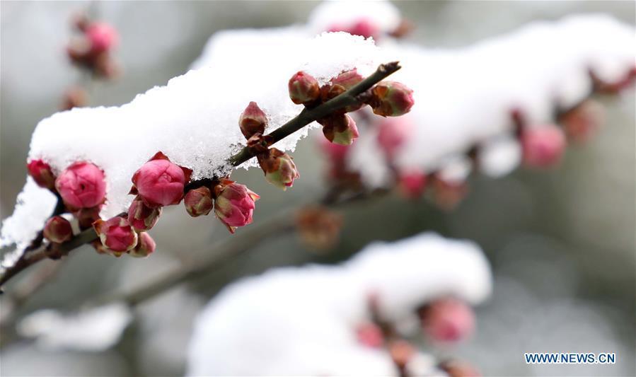 Photo taken on Dec. 31, 2018 shows snow covered plum flowers in Huqiu Mountain scenic spot in Suzhou, east China\'s Jiangsu Province. (Xinhua/Hang Xingwei)