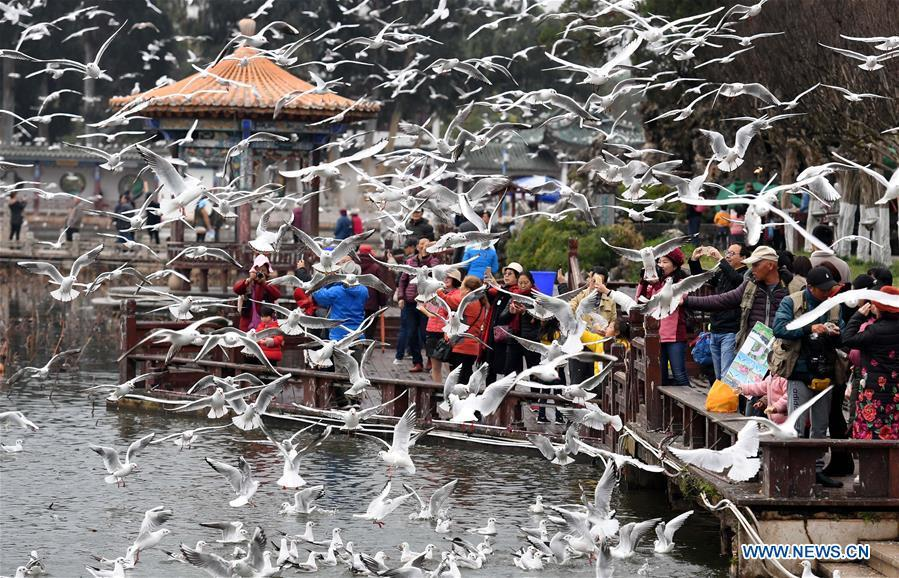 Tourists view black-headed gulls at Daguan park in Kunming, capital of southwest China\'s Yunnan Province, Jan. 1, 2019. Migratory black-headed gulls became an attraction for tourists during the New Year holiday. (Xinhua/Lin Yiguang)