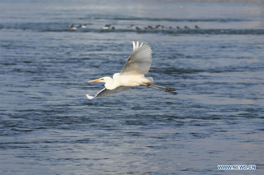 A water bird flies above the Yellow River in Lanzhou, capital of northwest China\'s Gansu Province, Jan. 2, 2019. With the improvement of environment on the upper reaches of the Yellow River, more water birds come to winter here in Lanzhou. (Xinhua/Fan Peishen)