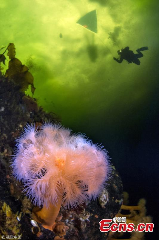 Victor Lyagushkin, an underwater photographer, has taken photos of incredible sea life in the White Sea including sea angels, jellyfish, soft corals, and sea anemones. (Photo/VCG)