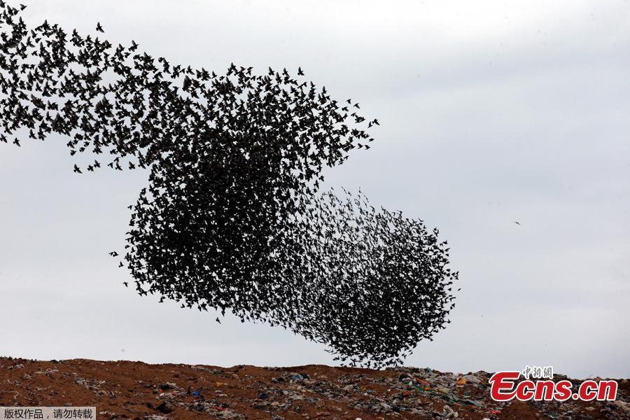A murmuration of migrating starlings fly in a group above a waste facility near the city of Rahat, southern Israel, Jan. 1, 2019. (Photo/Agencies)