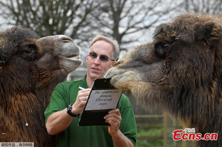 A zookeeper poses for the media with two Bactrian camels during a photocall to publicize the annual stocktake at London Zoo in London, Jan. 3, 2019.London Zoo is home to about 19,000 animals and almost 700 species and every year the keepers dust off their clipboards and make sure everyone is present and correct.(Photo/Agencies)
