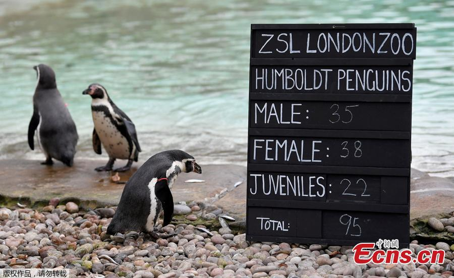 Penguins are seen during an event to publicize the annual stocktake at London Zoo in London, Britain, Jan. 3, 2019. London Zoo is home to about 19,000 animals and almost 700 species and every year the keepers dust off their clipboards and make sure everyone is present and correct.(Photo/Agencies)