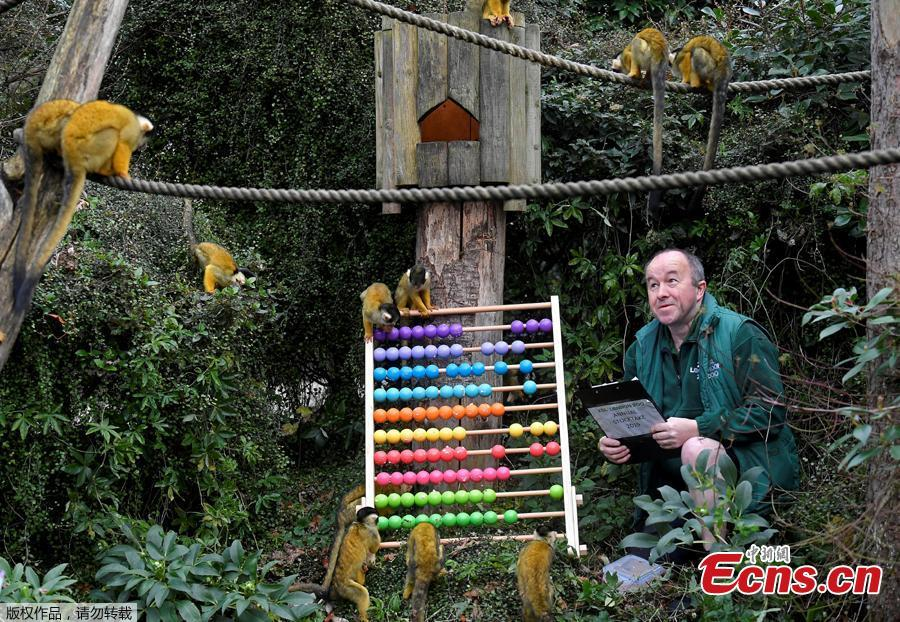 Zookeeper Tony Cholerton sits amongst Squirrel Monkeys during an event to publicize the annual stocktake at London Zoo in London, Jan. 3, 2019. London Zoo is home to about 19,000 animals and almost 700 species and every year the keepers dust off their clipboards and make sure everyone is present and correct.(Photo/Agencies)