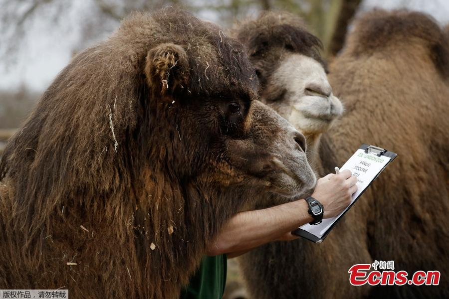A zookeeper poses for the media with two Bactrian camels during a photocall to publicise the annual stock-take at London Zoo in London, Thursday, Jan. 3, 2019. London Zoo is home to about 19,000 animals and almost 700 species and every year the keepers dust off their clipboards and make sure everyone is present and correct.(Photo/Agencies)