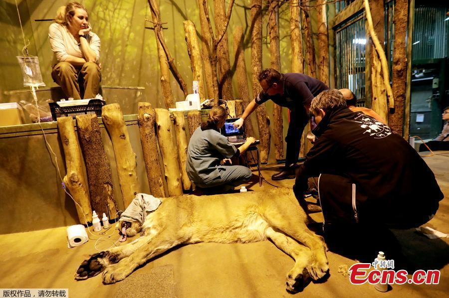 A veterinarian shoots a tranquilizer dart at Ginni, an Asiatic lioness, before an artificial insemination procedure at Prague Zoo, Czech Republic, January 3, 2019.   (Photo/Agencies)